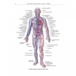 Атлас анатомии человека. В 4-х томах. Яков Синельников